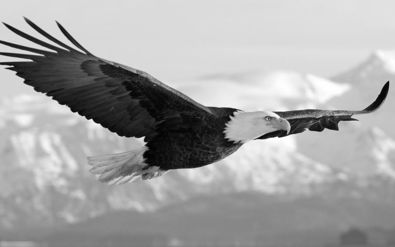 black-and-white-eagle-wallpaper